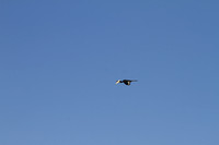 Malabar pied hornbill in flight in Dandeli's blue sky