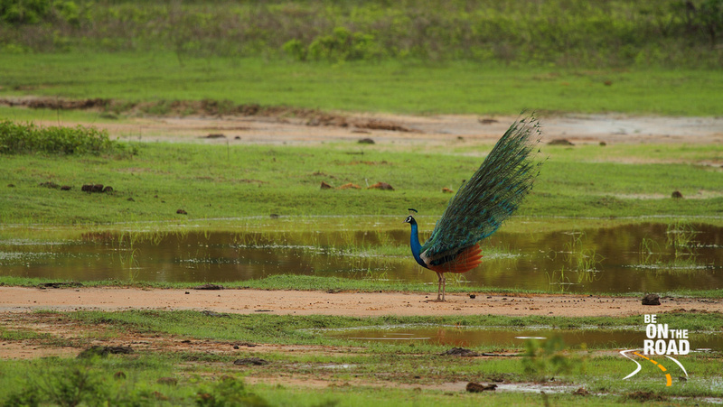 A peacock just finishing its unsuccessful mating dance