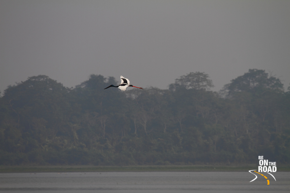 Black necked Crane in flight at Kaziranga National Park, Assam