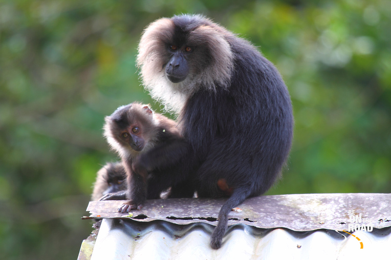 Lion Tailed Macaque seen inside Mukurthi National Park, Tamil Nadu