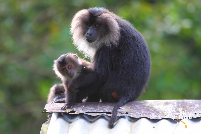 Lion Tailed Macaque seen inside Mukurthi National Park, Tamil Nadu