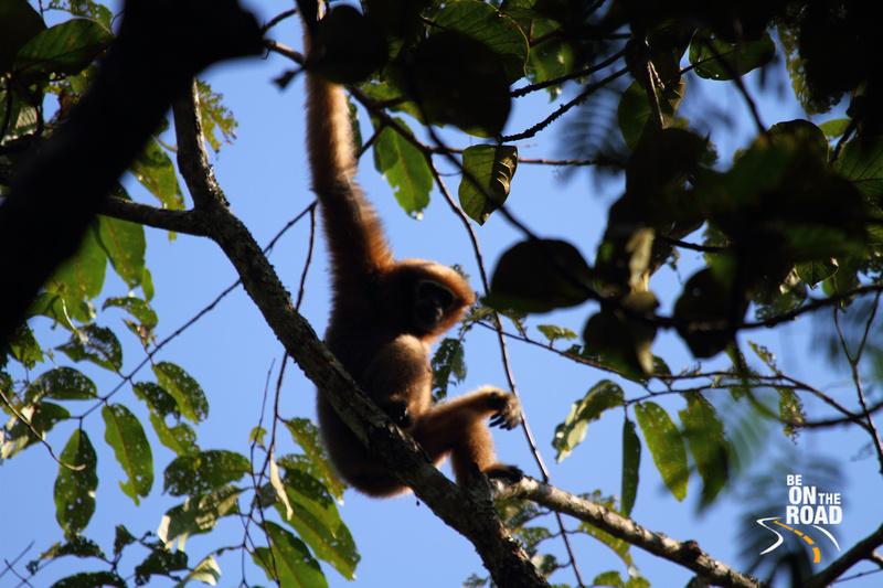 Female Hoolock Gibbon at Hoolongopar Gibbon Sanctuary, Assam