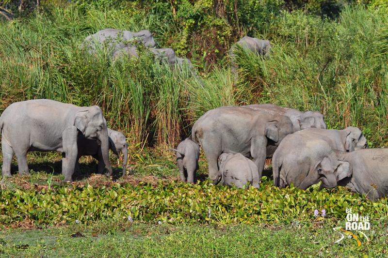 Large herd of elephants at Kaziranga National Park, Assam