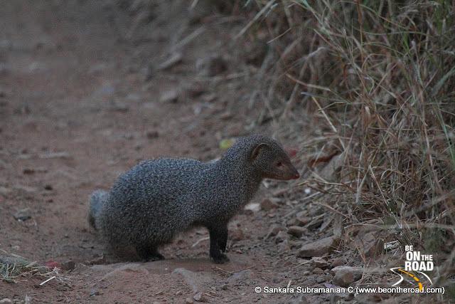 Common Mongoose