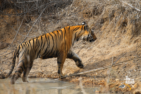 Check out the size of the paws of this Matkasur Male tiger from Tadoba Tiger Reserve