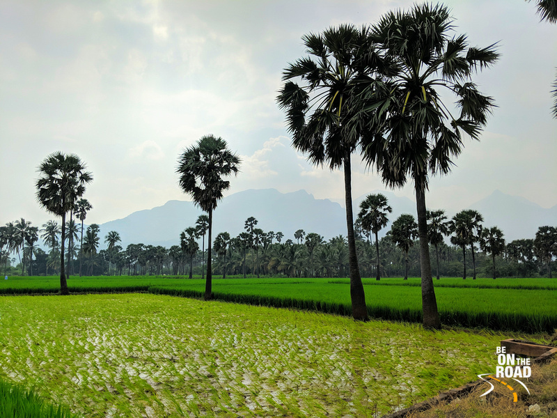 Paddy fields and palms - a Courtrallam countryside view