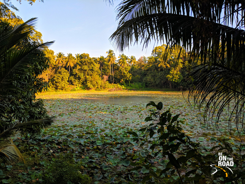 Lotus pond surrounded by coconut trees and spice plantations - Pullode, Kerala