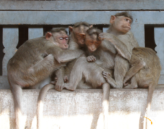 Cuddling and sleeping together - the bonnet macaques of Virupaksha Temple, Hampi