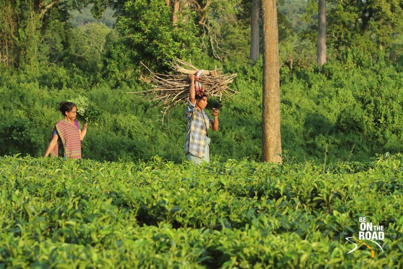 Tea gardens and working women - Mishing Tribal village, Panbari, Kaziranga, Assam