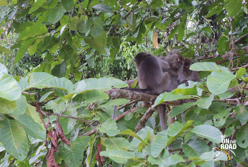 Group of long tailed macaques at Kinabatangan Wildlife Sanctuary, Borneo, Malaysia