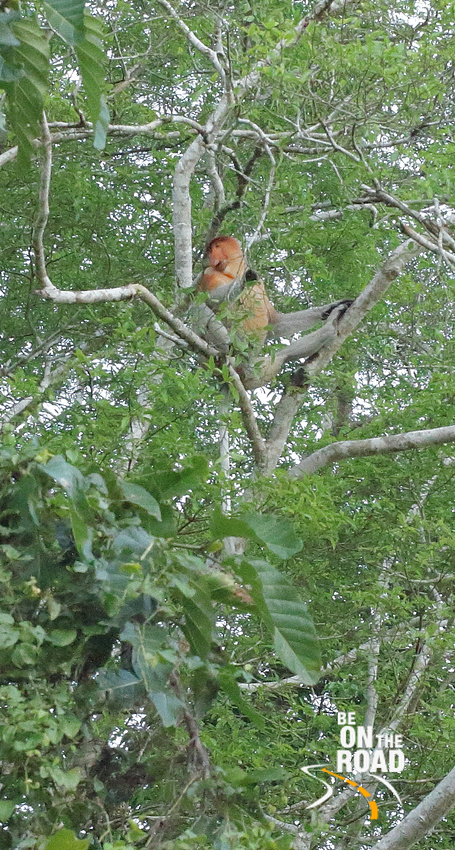 Proboscis monkey at Kinabatangan Wildlife Sanctuary, Borneo, Malaysia