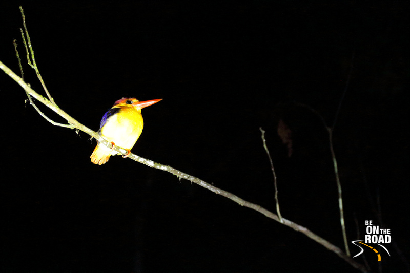 Stork billed kingfisher roosting in the Kinabatangan Wildlife Sanctuary, Malaysia