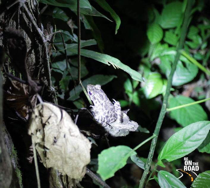Tree frog from Kinabatangan wildlife sanctuary seen during a night trek
