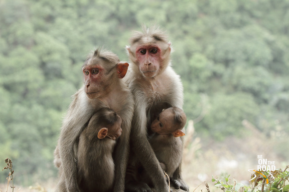Bonnet Macaque mother and their babies as seen at Gaganachukki Falls, Shivanasamudra, Karnataka
