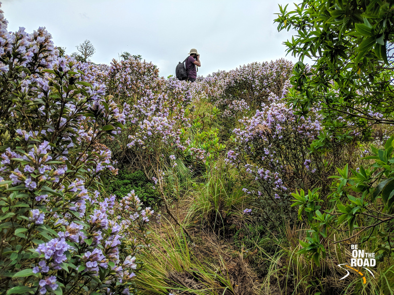 Photos don't do justice to the beauty of the Neelakurinji blooms