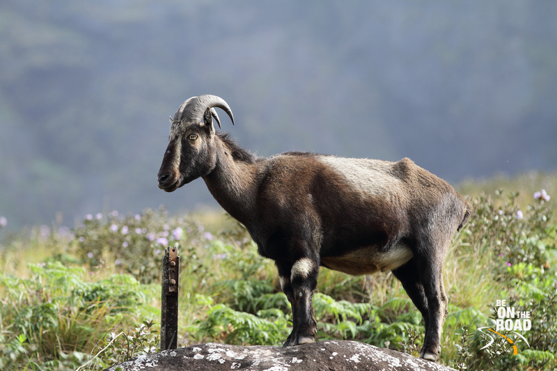 Nilgiri Tahr standing on a rock amidst the Neelakurinji blooms while enjoying the morning sun
