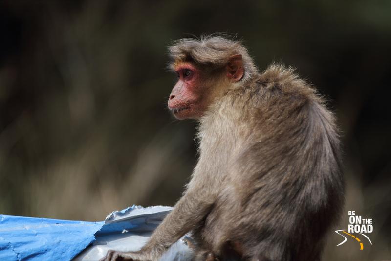 Bonnet Macaque near Upper Bhavani backwaters in Mukurthi National Park, Tamil Nadu