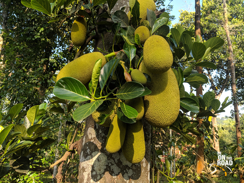 Delicious Jackfruits getting ready for harvest at Mylambady, Wayanad