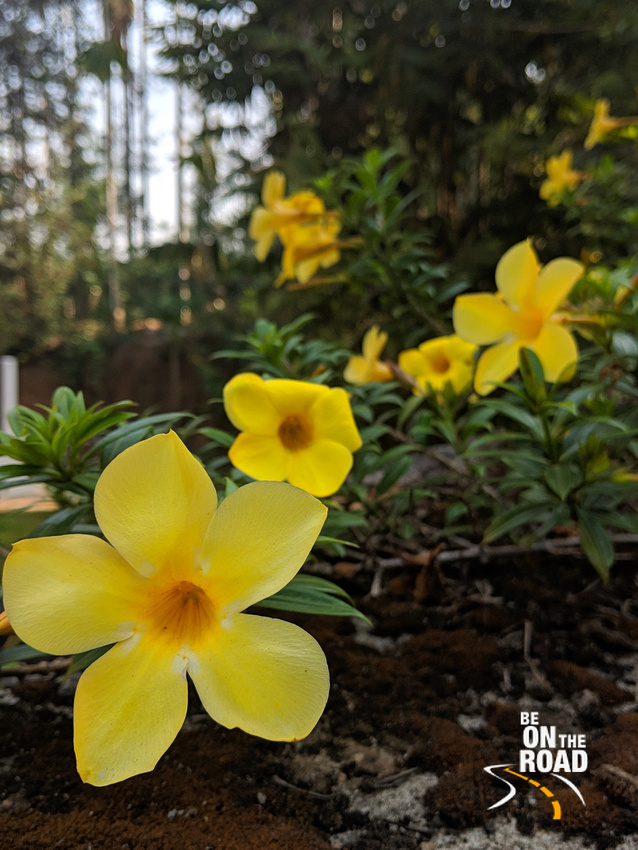 The yellow flower that is taking over the hedge at Aham Anubhava, Wayanad, Kerala
