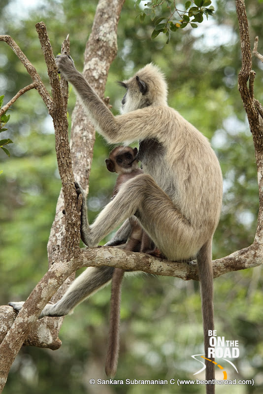 Young Grey Langur suckling
