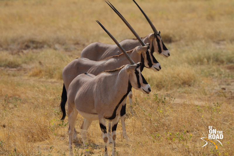 Beisa Oryx horns in perfect symmetry at Samburu National Reserve, Kenya