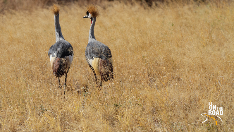 Grey-Crowned Cranes explore the Samburu grasslands