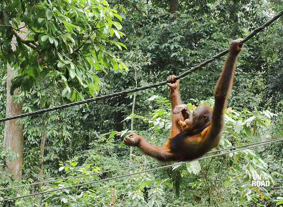 Oragutan enjoying his fruit and his swing at Sepilok, Malaysia
