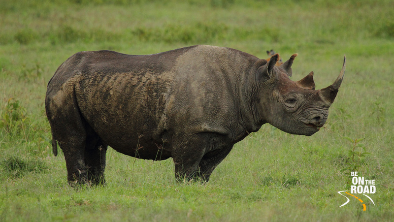 White Rhinoceros - the second largest land mammal in the world