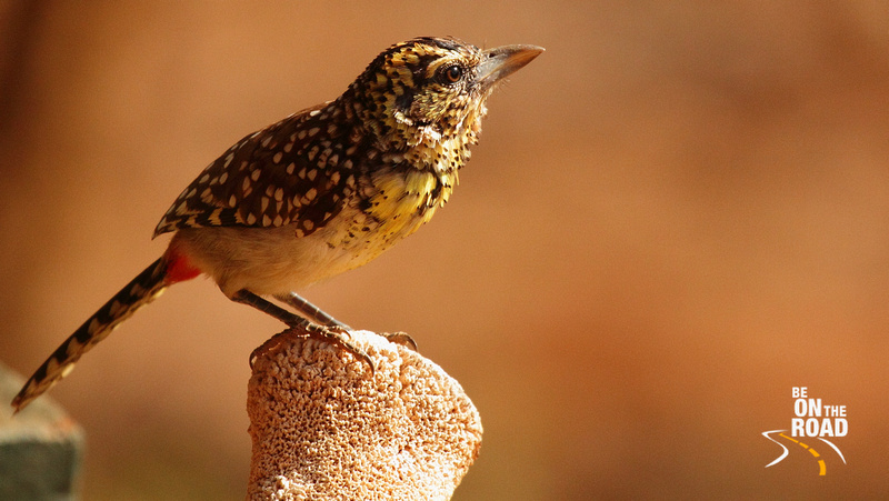 D'Arnaud's Barbet shining in the afternoon sun at Samburu National Reserve