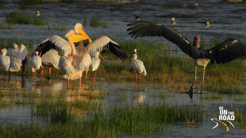 A Marabou Stork lands next to Great White Pelicans and African Spoonbills