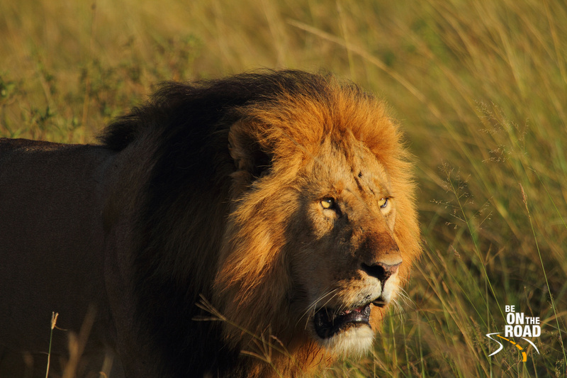 Special Lion Moments from Maasai Mara - 6