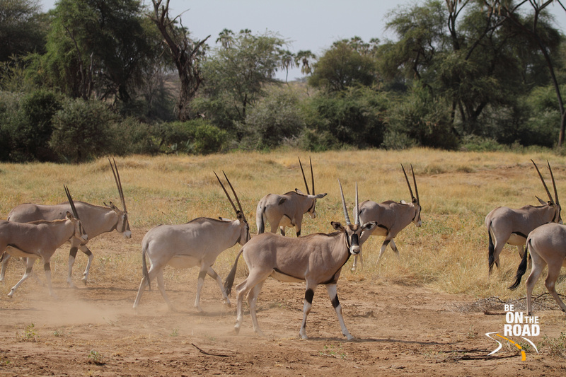 Beisa Oryx make a run for it