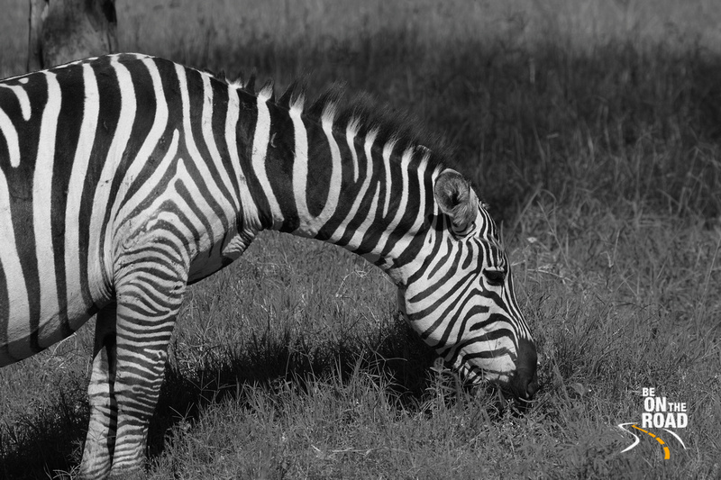 Common Zebra in monochrome