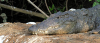 Young Marsh Crocodile basking on the banks of the Cauvery at the Ranganathitu Bird Sanctuary