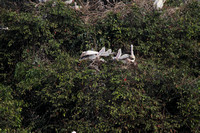 Pelican nesting colony at Ranganathitu Bird Sanctuary
