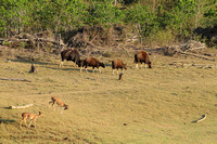 Gaur and spotted deer grazing at Kabini Tiger Reserve, India