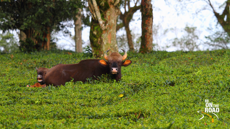 Gaur at Pudhuthotam Tea Estate, Valparai