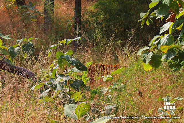 The stripes that make Tadoba Andhari Tiger Reserve such a favorite