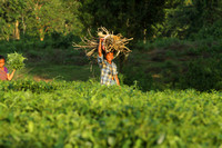 Local women working in the tea gardens of Assam, India