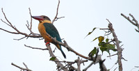 Stork billed Kingfisher at Ranganathitu Bird Sanctuary