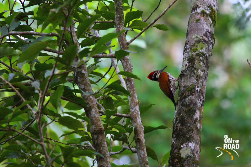 Black Rumped Flameback (Lesser Golden-Backed) Woodpecker at Valparai - 2
