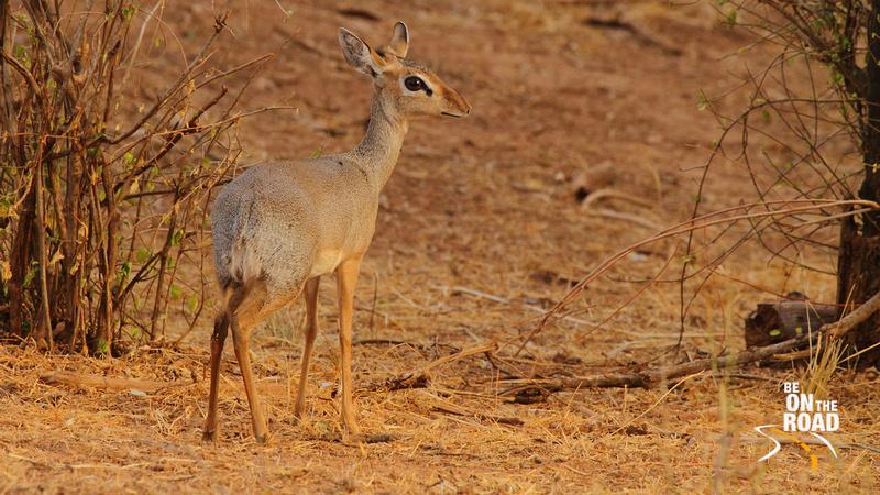 Kirk's Dik Dik - a very small antelope