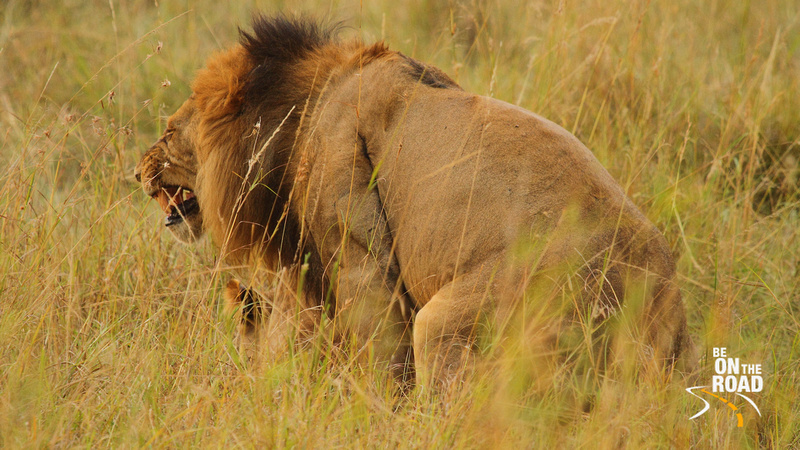 A Lion groans during a mating session