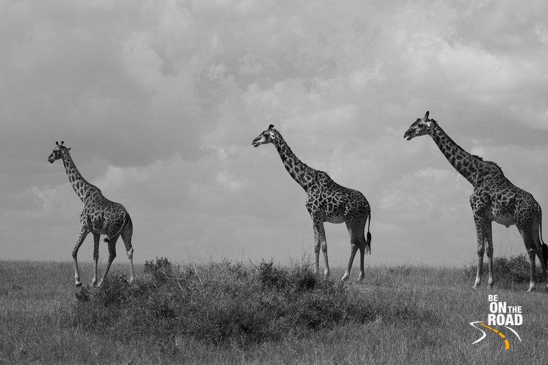 The Maasai Giraffe in monochrome