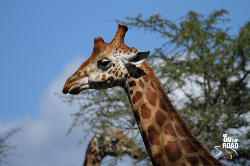 Side view of Rothchild's Giraffe