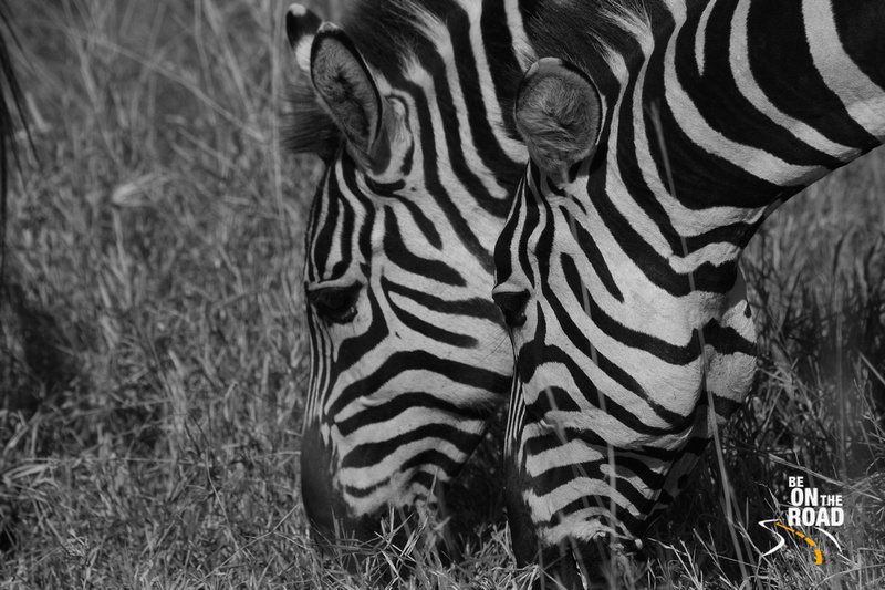 Zebras graze together