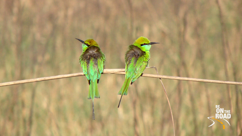 2 Little green bee-eaters at Jim Corbett National Park, Uttarakhand, India