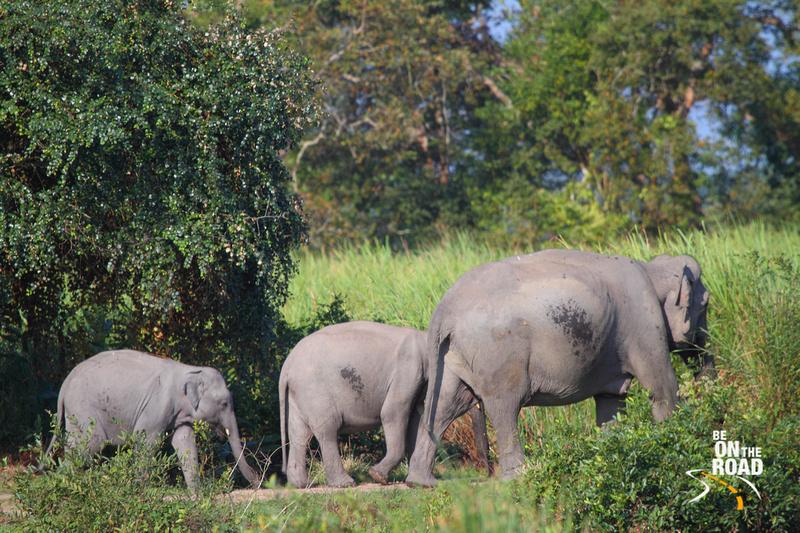 Kaziranga Wild Elephant Series