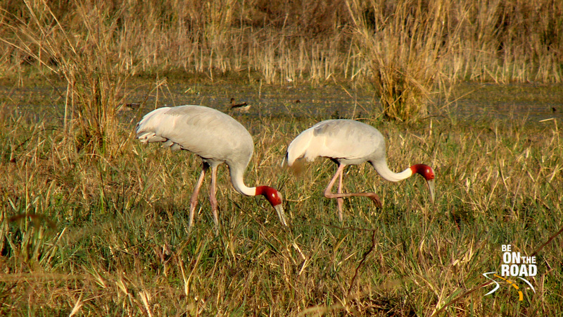 Sarus Crane Couple at Bharatpur Bird Sanctuary, Rajasthan, India