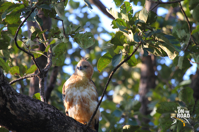 Juvenile Changeable Hawk Eagle